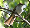 Black billed cuckoo